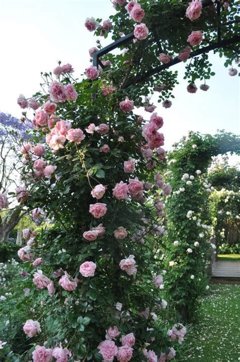 5 Fragrant Climbers We Love  Sa Garden And Home