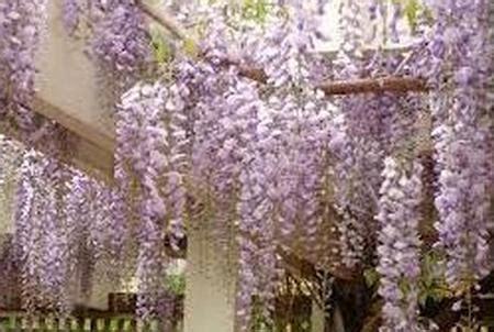 tanaman rambat dinding pagar cantik