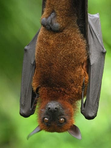 Pipistrello Volpe Volante Flying Fox Pteropus Vyrus Malaysia Photographic