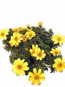 balkonpflanzen gelb pflanzenklick With balkon teppich mit gelbe tapete
