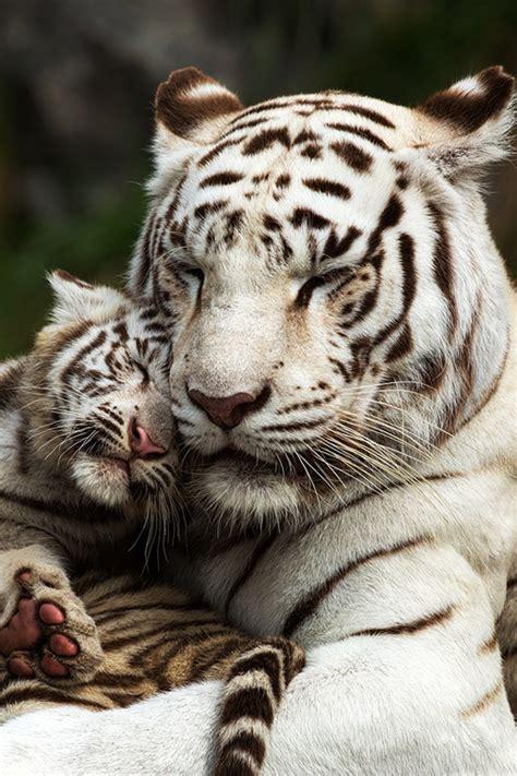Cuddle White Tiger Mother Cub Manuel