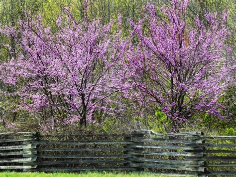 early flowering trees 1000 images about trees on pinterest early spring front yards and sales representative