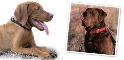 your dog chesapeake bay retriever dog breed profile