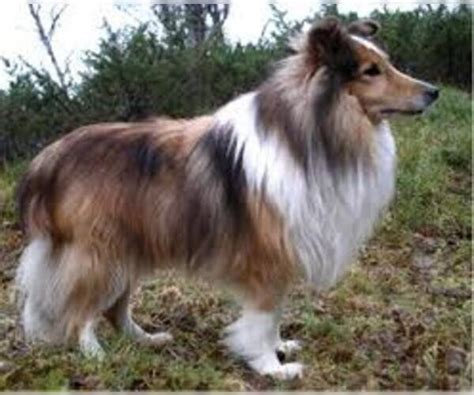 sheltie shed shetland sheepdog breed information and pictures on
