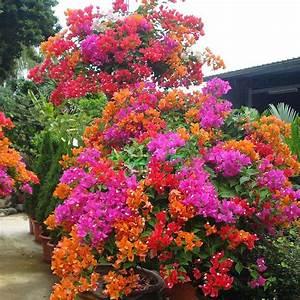 Bougainvillea Blüht Nicht : 100pz gemischte farbe bougainvillea bonsai blume pflanze ~ Lizthompson.info Haus und Dekorationen
