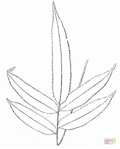 Fern Coloring Pages Branch Printable Supercoloring Drawing