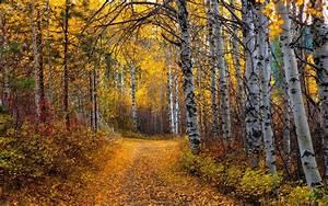 Aspen, Tree, Wallpapers, Hd