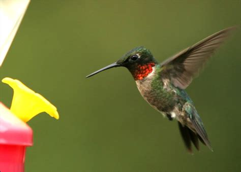 the tightwad gardener how to attract hummingbirds