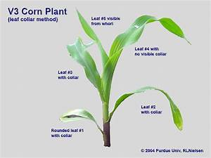 Determining Corn Leaf Stages  Purdue University