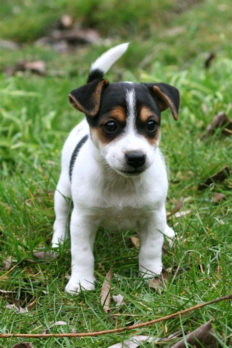cute short legged jack russell terrier puppies pictures