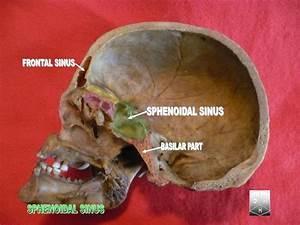 File Sphenoidal Sinus Jpg