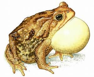 Why do frogs croak?