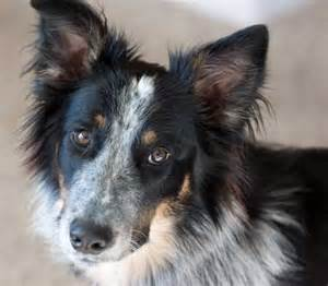 border collie blue heeler mix temperament dog breeds picture