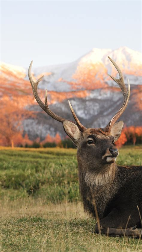 wallpaper deer  zeland mountains animals
