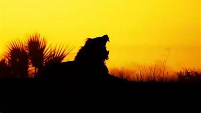 Lion Sunrise African Silhouette Africa Roaring Sunset