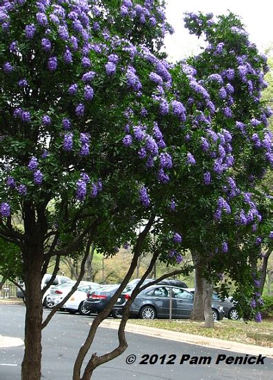 best smelling tree in sophora secundiflora diggingdigging