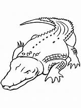 Coloring Pages Alligators Crocodiles sketch template