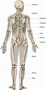 Provide Human Illustrate Anatomy Diagrams By Adotstudio