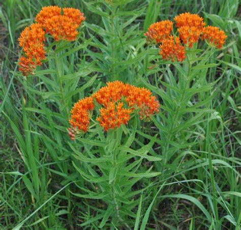 milkweed plants for schwabe news octuber to december 2016 asclepias tuberosa 7504