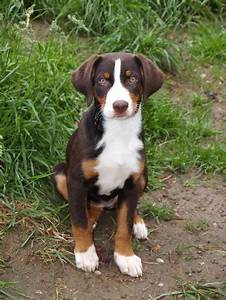 Appenzeller Sennenhund | Appenzeller Sennenhund ...