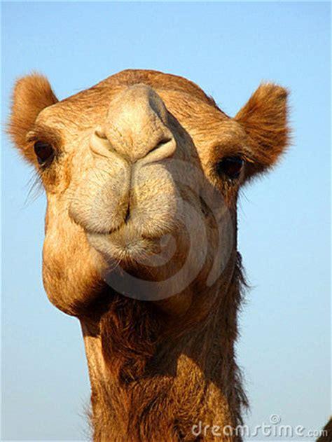 front face arabian camel head close  royalty  stock