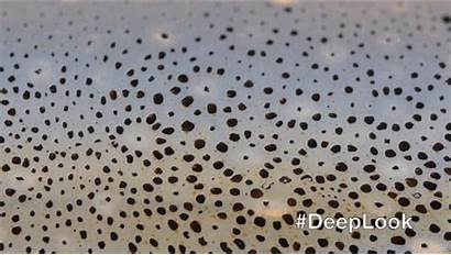 Squid Skin Cephalopod Camouflage Kqed Chromatophores Change