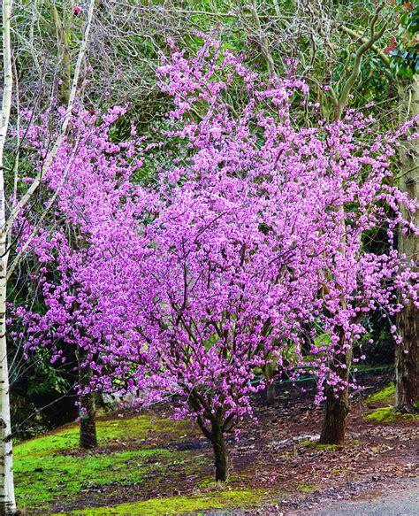 blooming plum tree prunus blireana common name flowering plum 500mm pot dawsons garden world