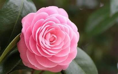 Rose Wallpapers Pink Flowers Desktop