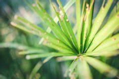 Palme Gelbe Blätter : palme aufp ppeln so retten sie verk mmerte palmen ~ Lizthompson.info Haus und Dekorationen