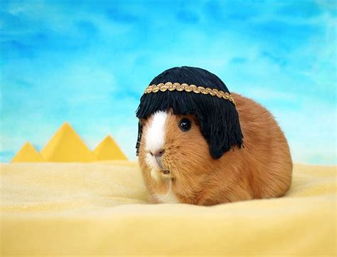 guinea pigs  fancy dress    day