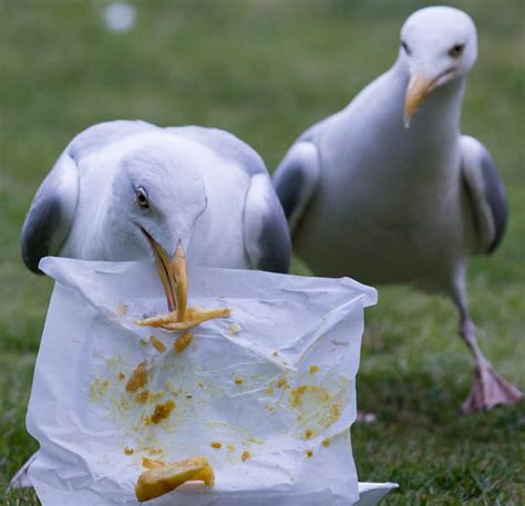thugs harm seagulls in sick fishing craze daily star