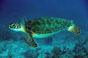 Green Sea Turtle Photo by: Dr. Evan D'Alessandro ...