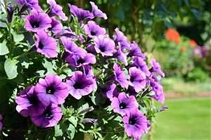 Balkonpflanzen Hängend Pflegeleicht : balkonpflanzen balkonblumen pflege pflanzen und sorten ~ Lizthompson.info Haus und Dekorationen