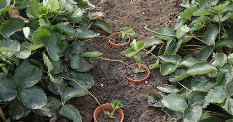 liguster stecklinge ziehen ableger pflanzen vermehrung und tipps mein sch 246 ner garten