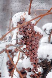 Icewine Grapes
