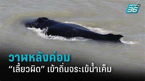 ครั้งแรกในออสเตรเลีย วาฬหลังค่อมเลี้ยวผิด เข้าถิ่นจระเข้ ...