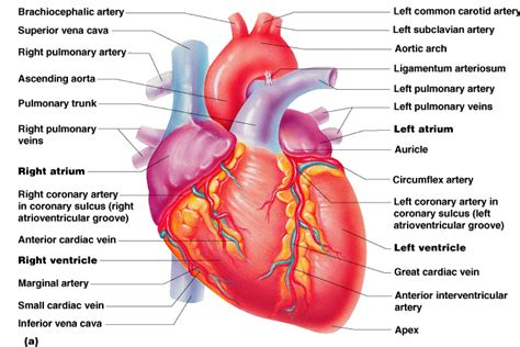 Real Heart Diagram