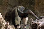 Giant Anteater image - Free stock photo - Public Domain ...