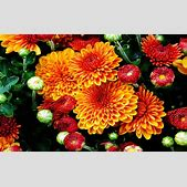 Fall Mums Color...
