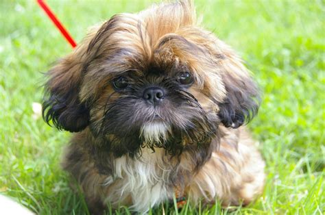 shih tzu puppies  ultimate guide   dog owners