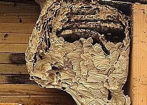 Wann Verlassen Wespen Ihr Nest : wespennest bek mpfen beseitigen und entfernen ~ A.2002-acura-tl-radio.info Haus und Dekorationen
