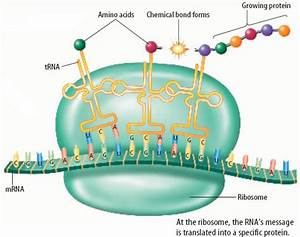 Role of gene in protein synthesis