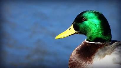 Mallard Duck Looks Ducks Desktop Wallpapers Male