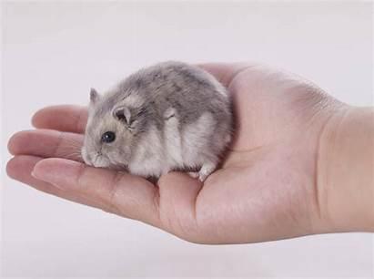 Zwerghamster Dsungarische Hamster Dsungarischer Haltung Artgerechte Welche