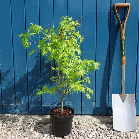 acer palmatum katsura japanese maple tree buy