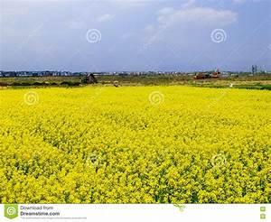 Graines Fleurs Des Champs : fleurs jaunes des champs ~ Melissatoandfro.com Idées de Décoration
