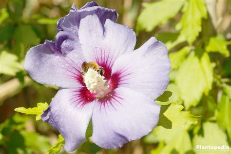 hibiscus plant and flower how to grow and care for hibiscus tree plantopedia