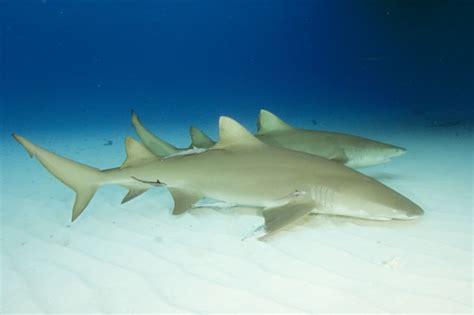 lemon syari lemon shark pictures