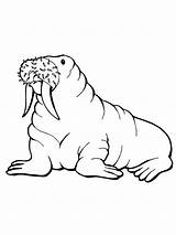 Walrus Coloring Pages Printable Drawing Arctic Animals Drawings Designlooter Realistic Getcoloringpages Clipartmag 1600px 06kb 1200 Bestcoloringpagesforkids sketch template