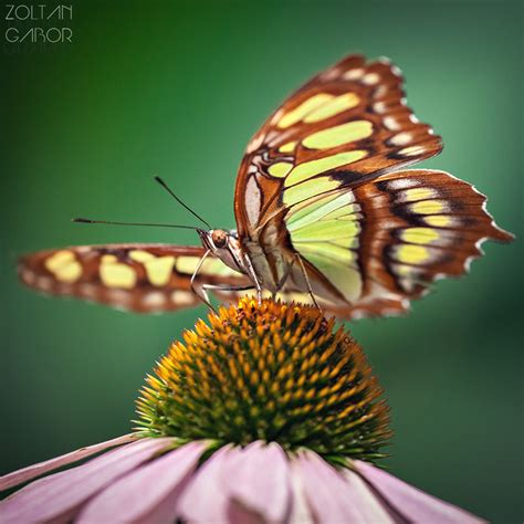 butterflies zoltan gabor photography professional